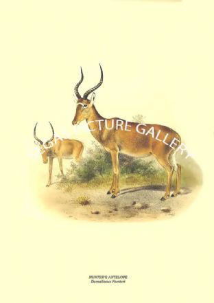 HUNTER'S ANTELOPE - Damaliscus Hunteri